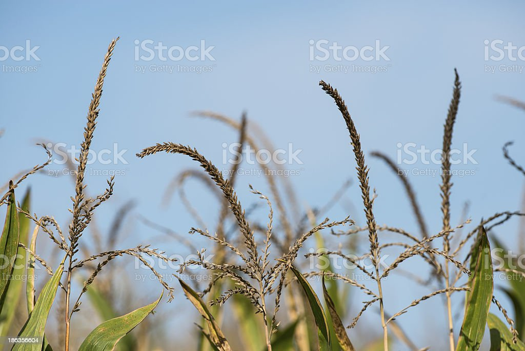 Close up of corn against blue sky royalty-free stock photo