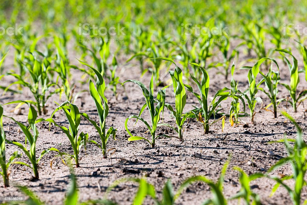 close up of corn stock photo