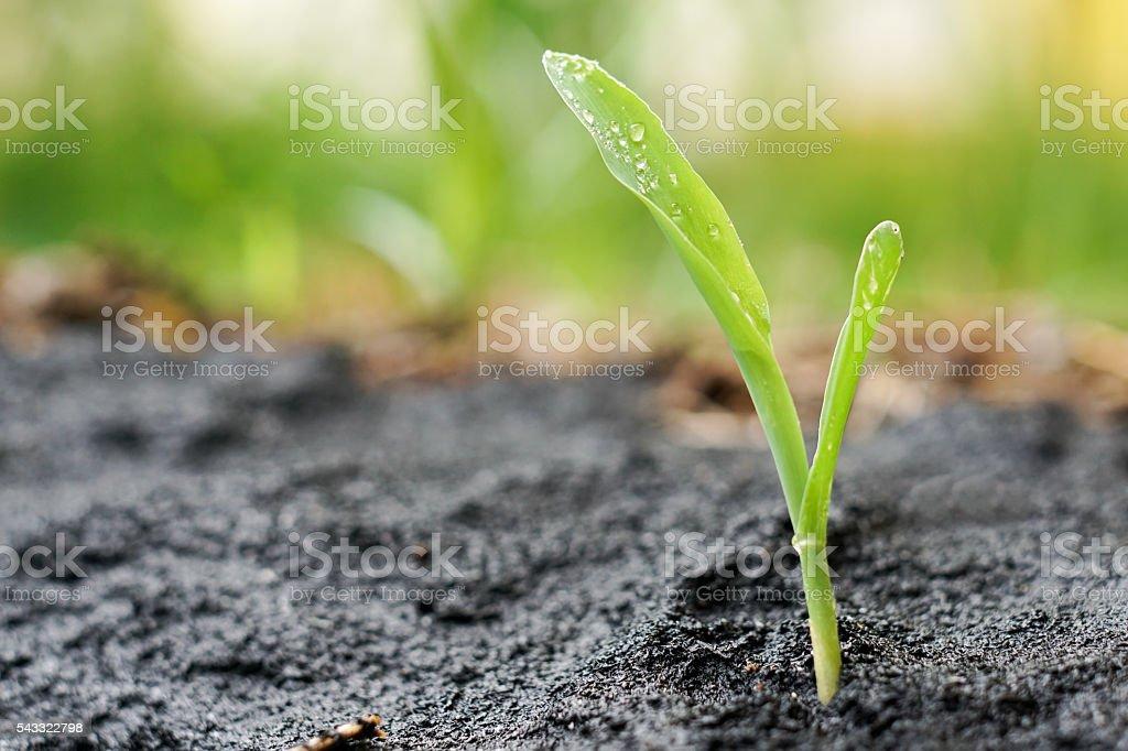 close up of corn seedling stock photo