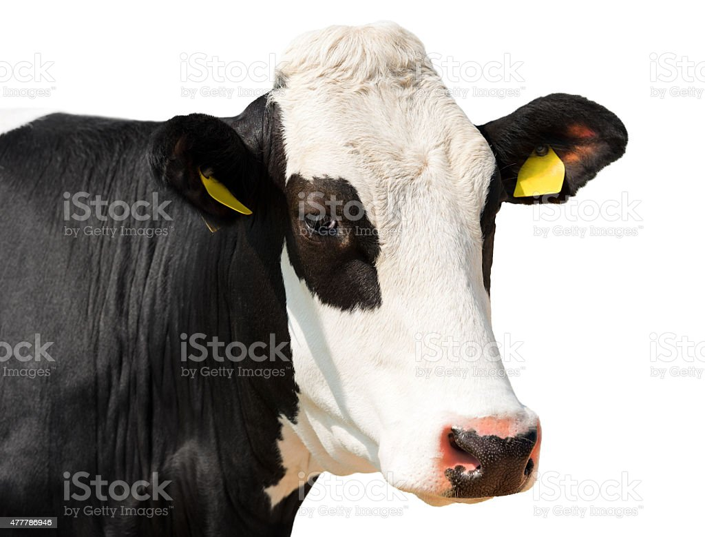 Close up of Cow Head isolated on White stock photo
