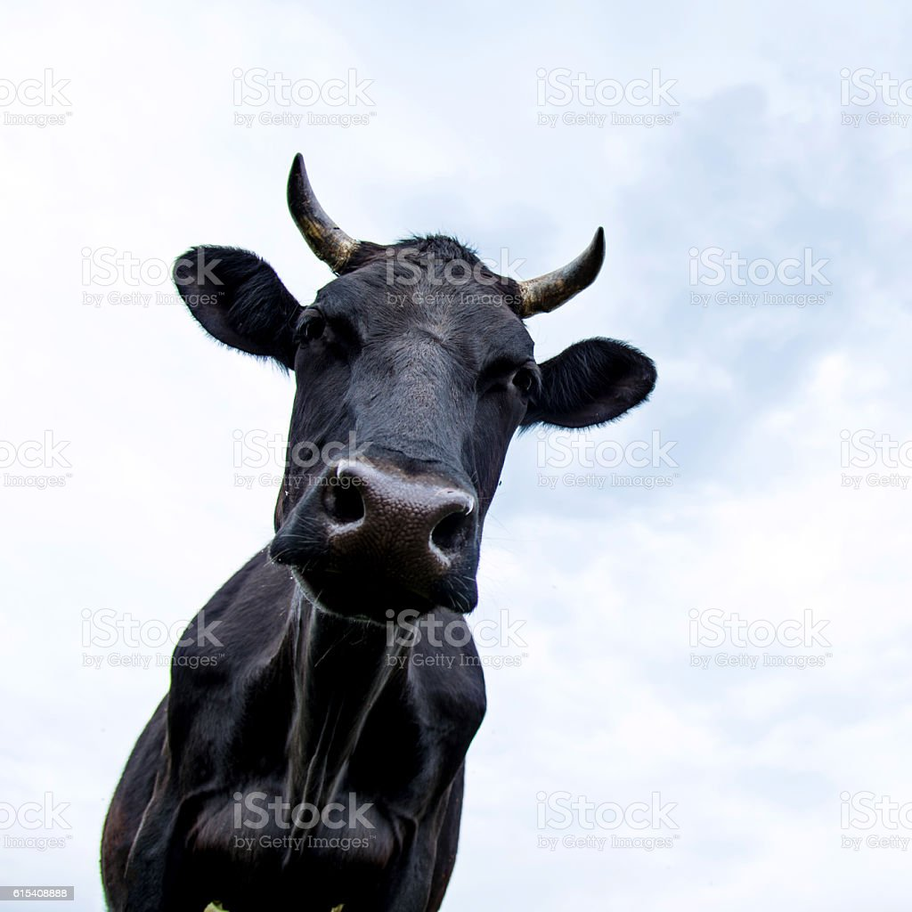 Close up of cow on pasture stock photo
