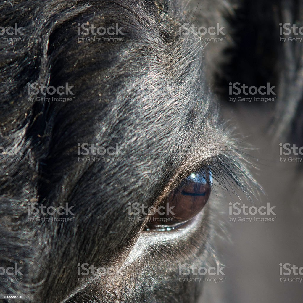Close up of cow's eye stock photo