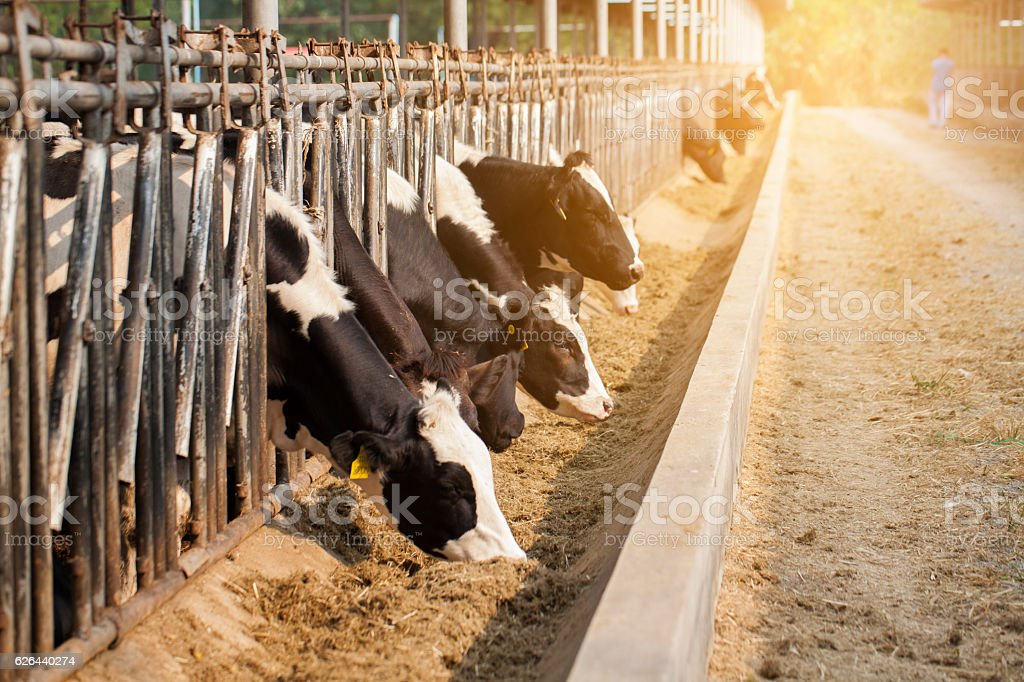 close up of cows in a farm with sunlightlight stock photo