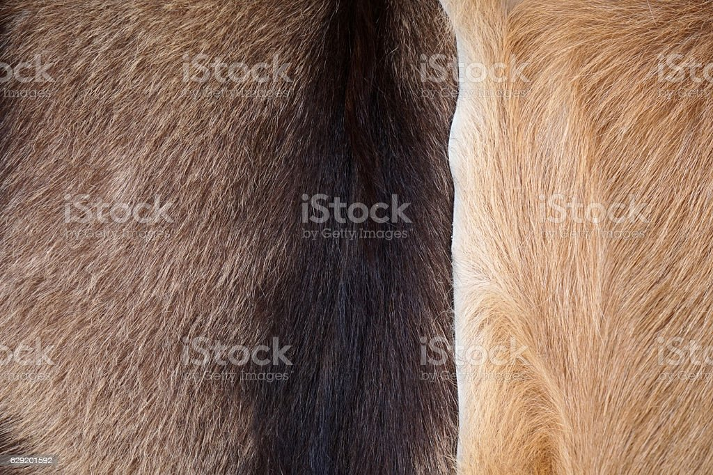 Close Up of cow's skinned  genuine natural fur stock photo