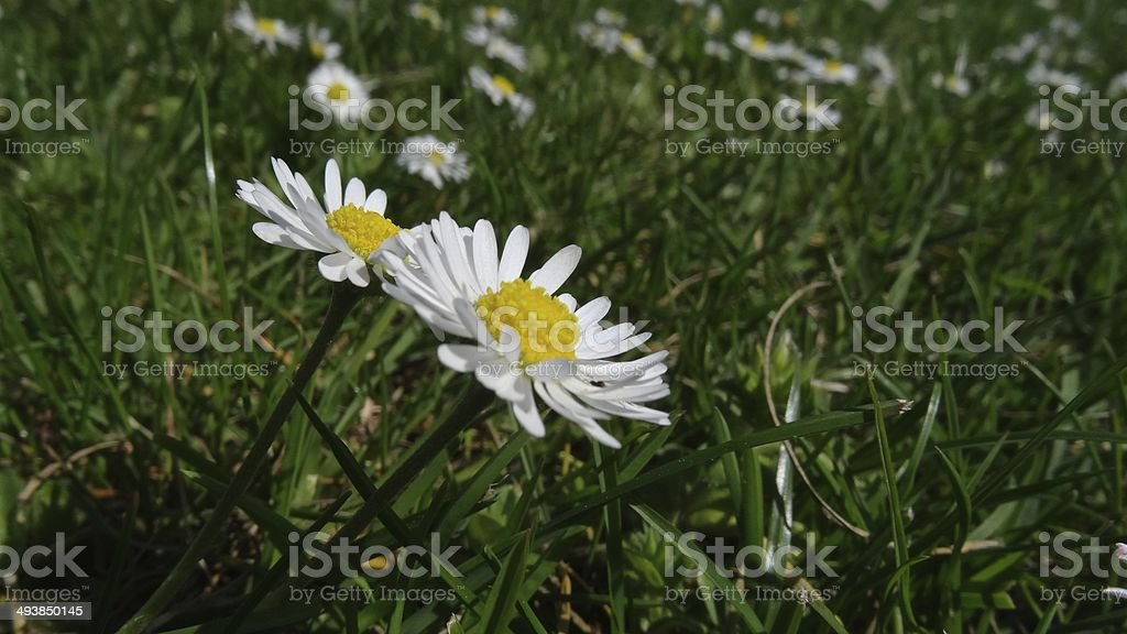 Close up of daisies on the lawn royalty-free stock photo