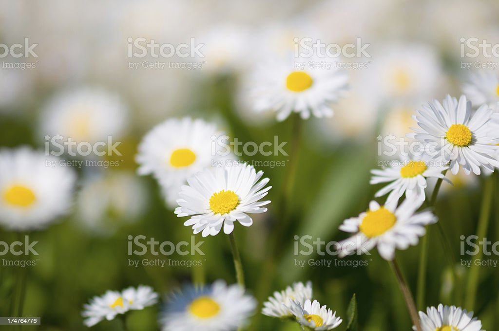 Close Up of Daisy Flower in Green Background royalty-free stock photo