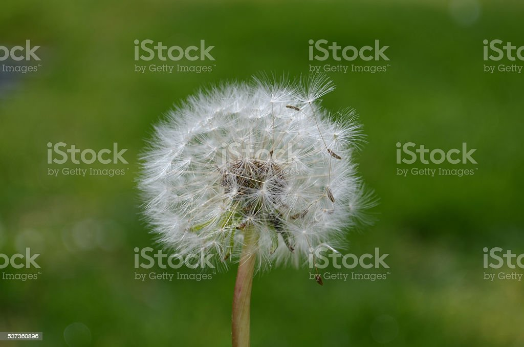 close up of Dandelion seeds stock photo