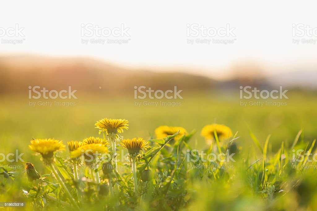 Close up of dandelions on sunny summer meadow. Nature background stock photo