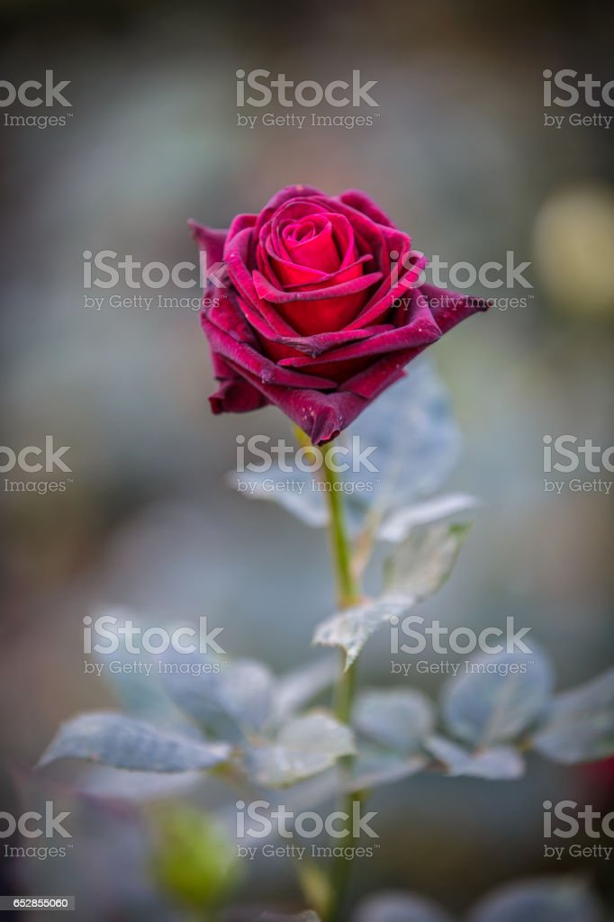 Close up of dark red rose Black Baccara in garden with green background stock photo