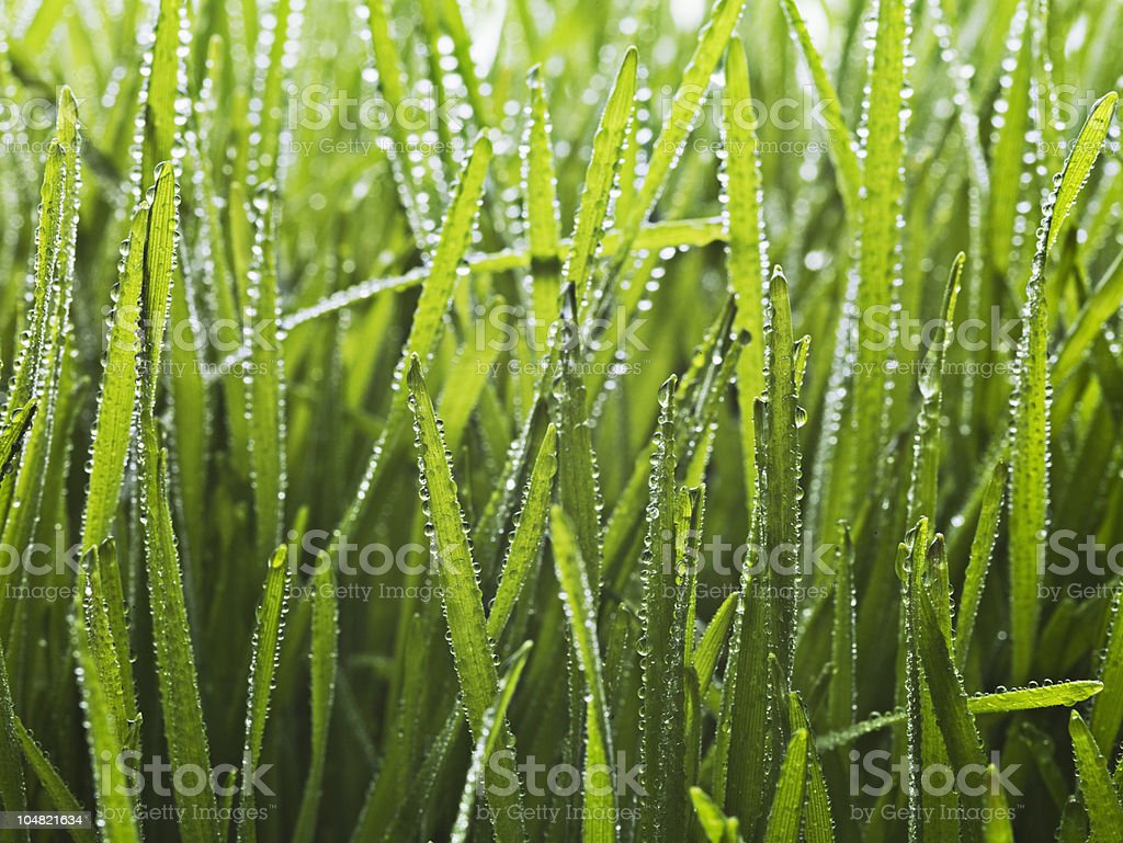 Close up of dew droplets on grass royalty-free stock photo