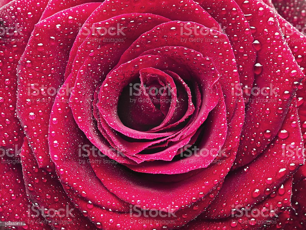 Close up of dew droplets on red rose royalty-free stock photo