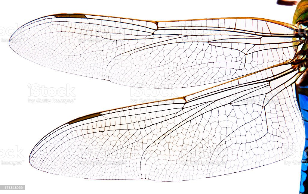 Close Up of Dragonfly Wings stock photo