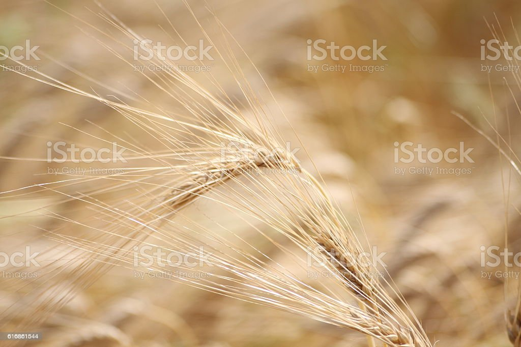 Close up of ears of Rye stock photo