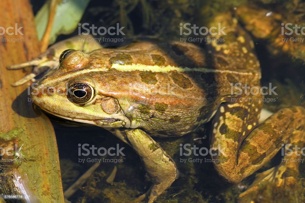 close up of edible frog stock photo