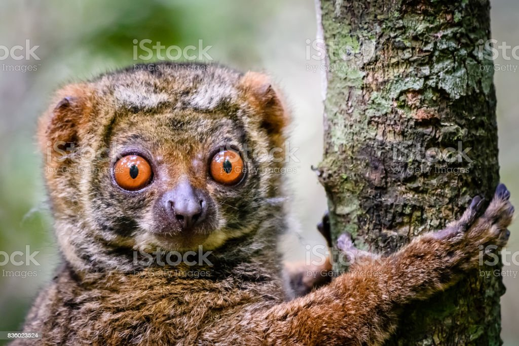 Close up of endangered Woolly Lemur clinging to tree in his natural habitat stock photo