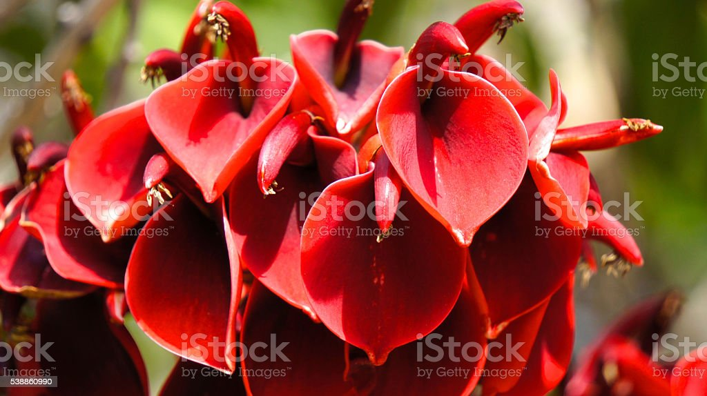 Close up of Erythrina crista-galli/Cockspur Coral Tree stock photo