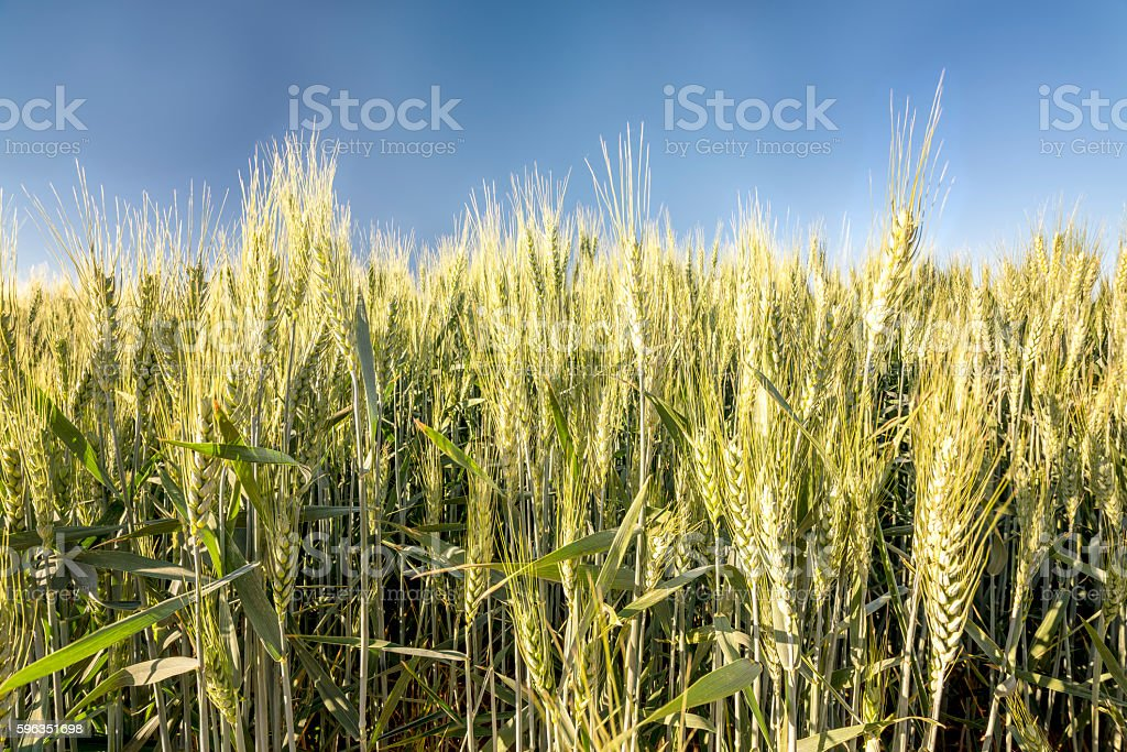Close up of farmers wheat in a field stock photo