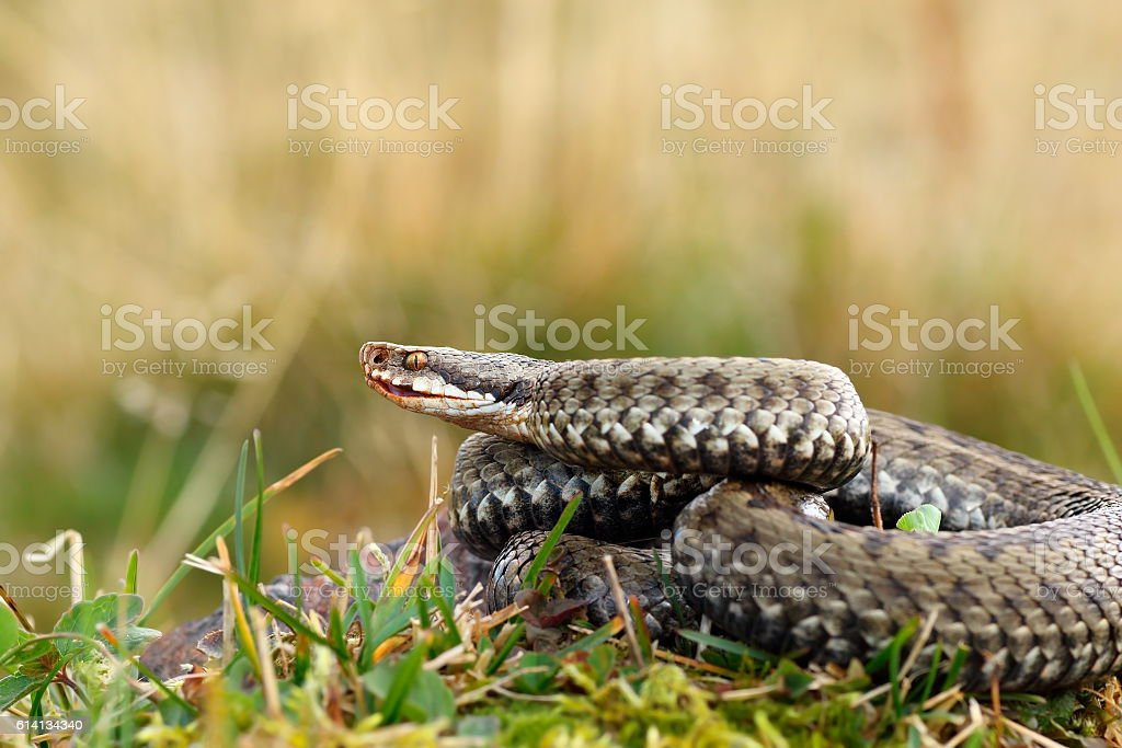 close up of female european crossed adder stock photo