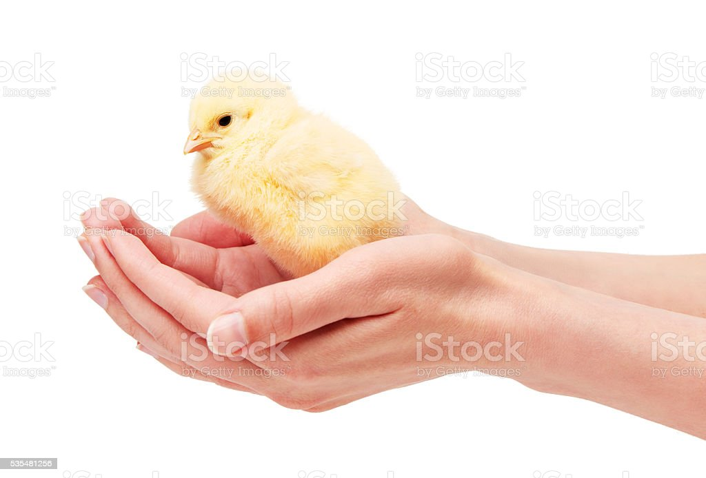 Close up of female hands holding small yellow chicken stock photo