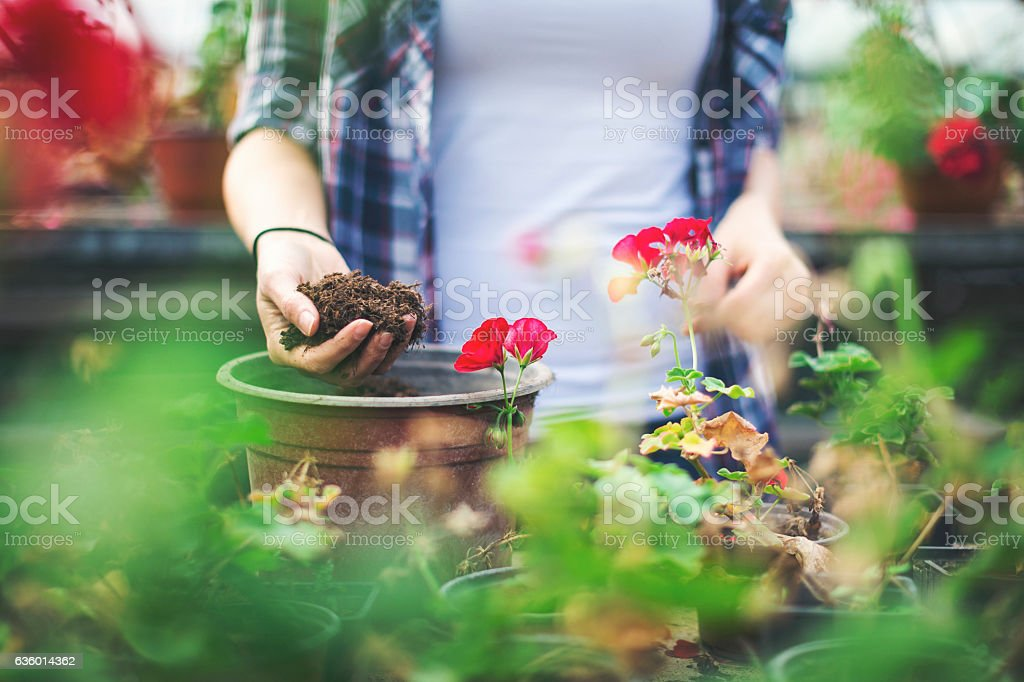 Close up of female hands taking care of flowers stock photo