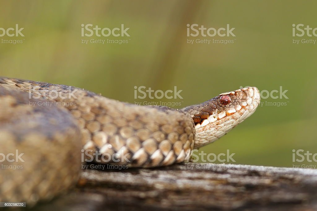 close up of female  Vipera berus stock photo