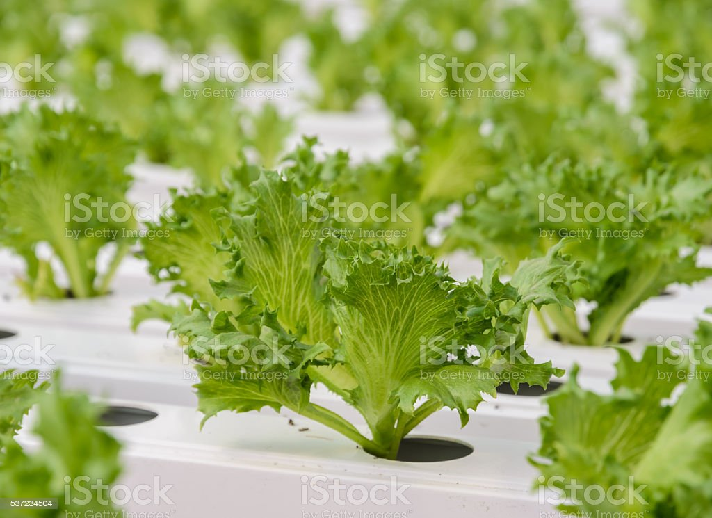 Close up of Fillie Iceburg leaf lettuce vegetables plantation stock photo