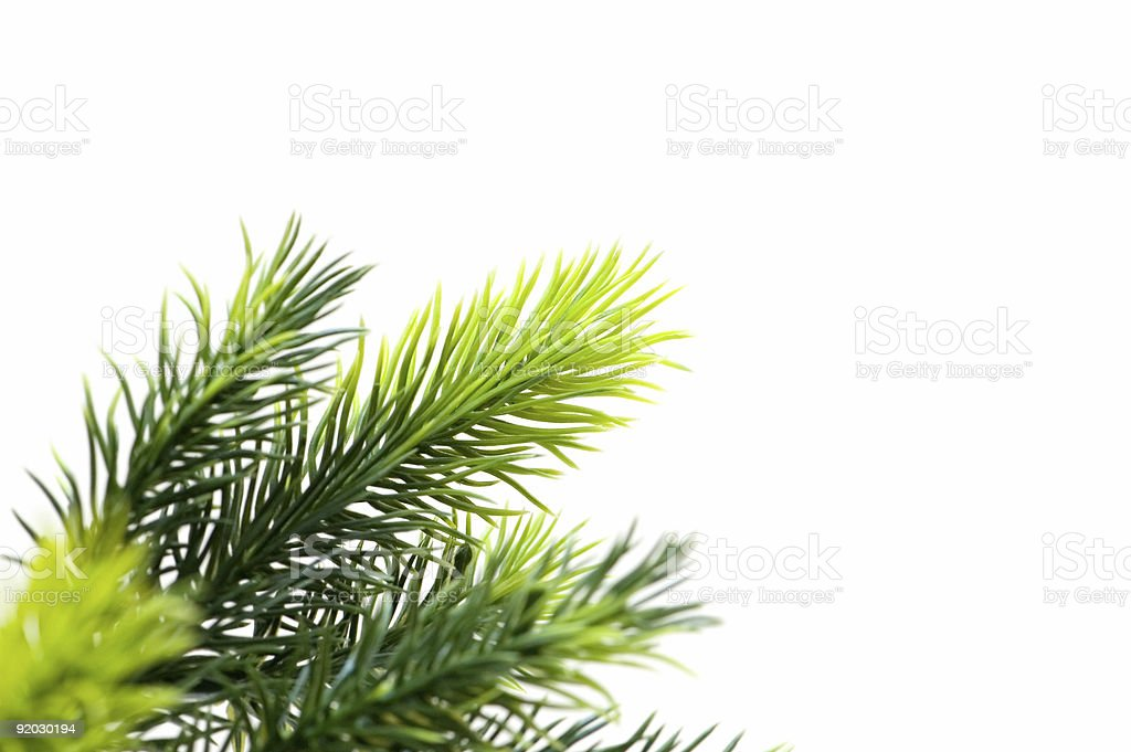 Close up of fir tree brach isolated on white royalty-free stock photo