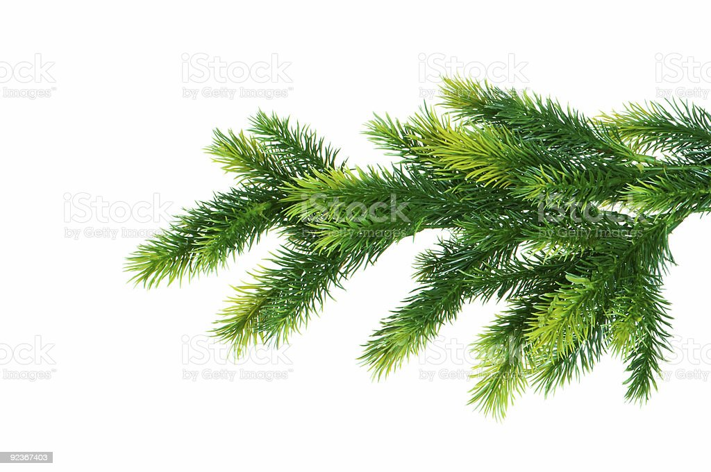 Close up of fir tree branch isolated on white royalty-free stock photo