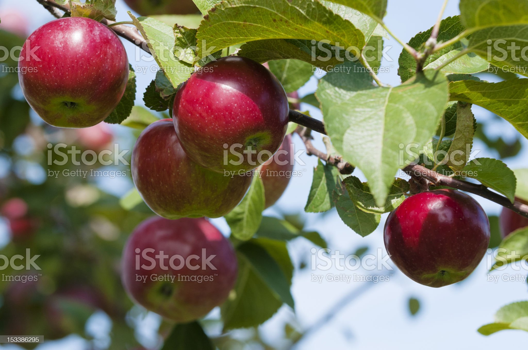 Close up of five red apples ready for picking off a tree royalty-free stock photo