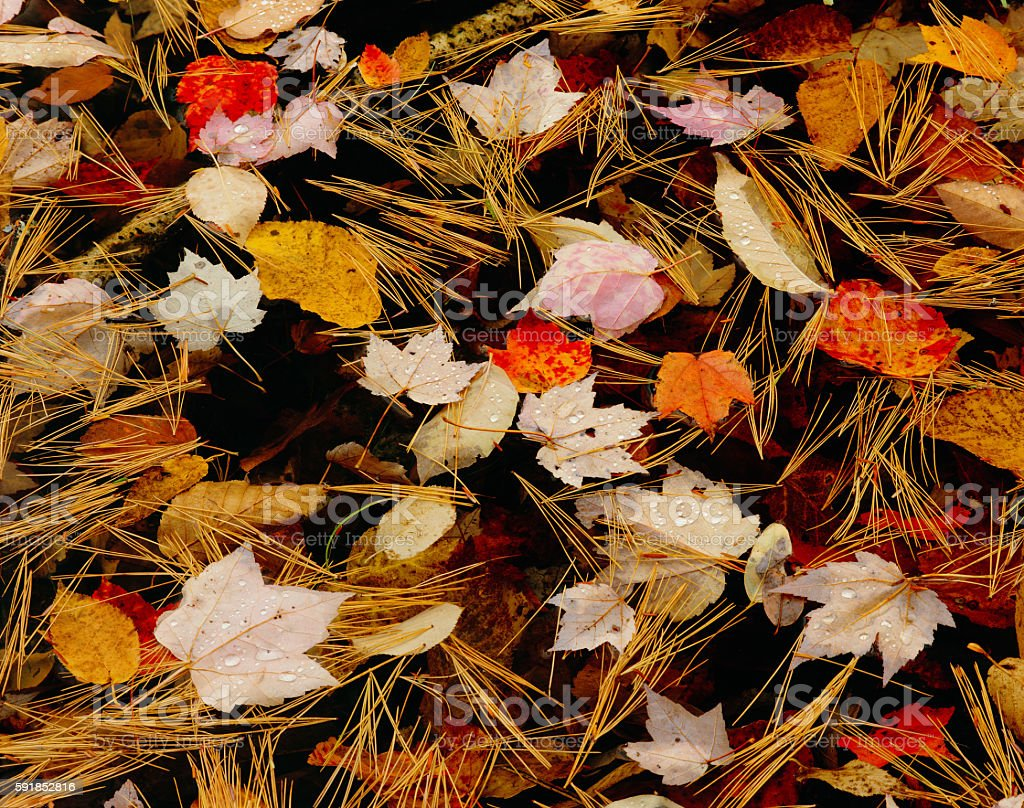 Close up of Floating Autumn Leaves And Pine Needles, VT stock photo