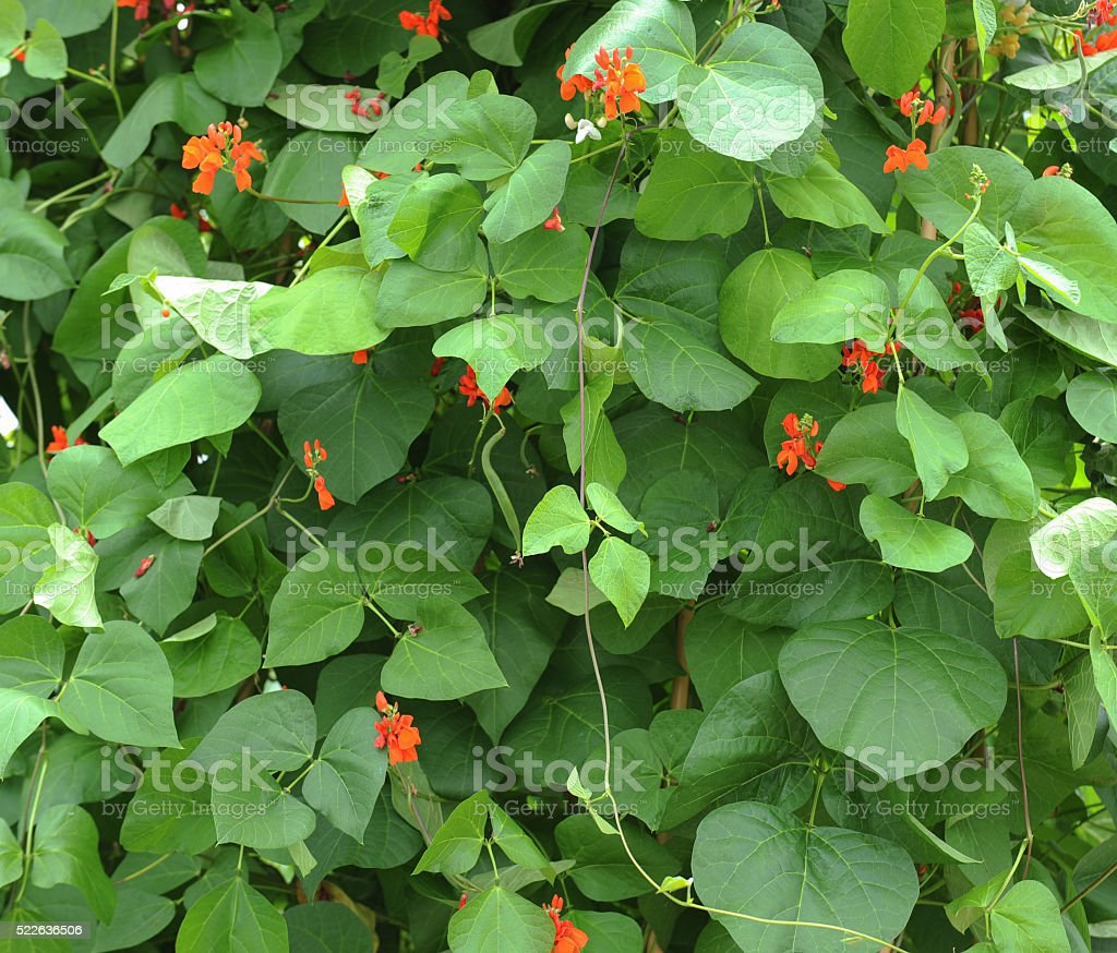 Close Up of Flowering Runner Bean Plant (Phaseolus coccineus) stock photo