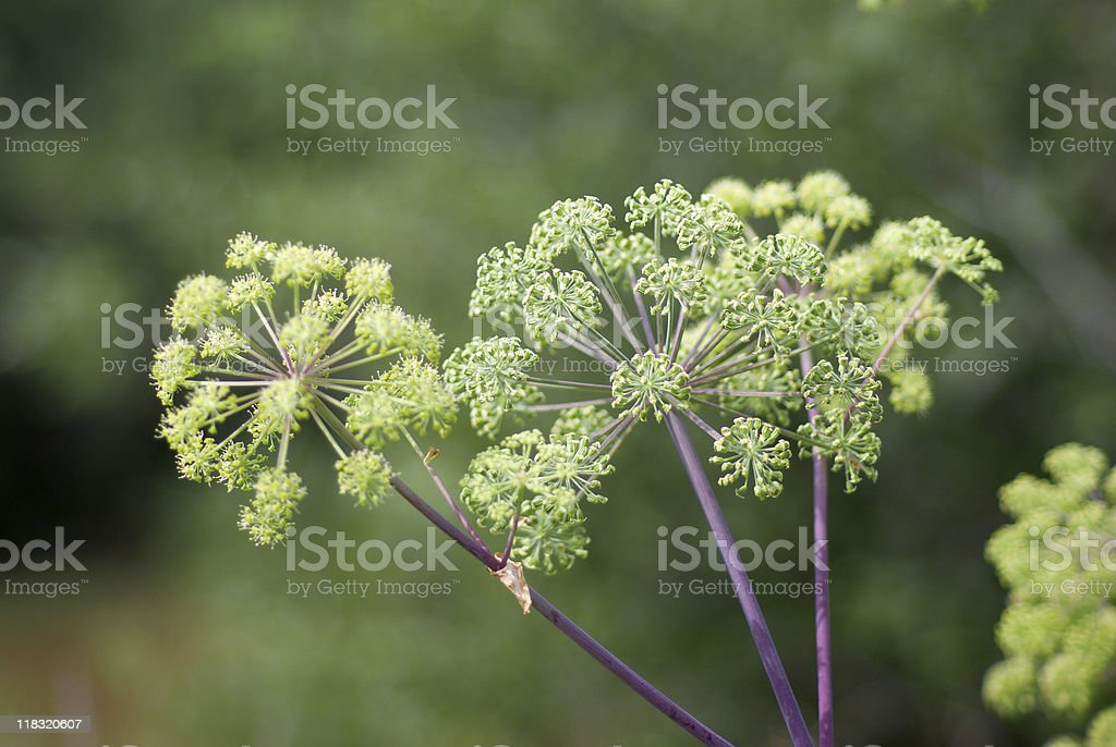 Close up of flowers of angelica plant stock photo