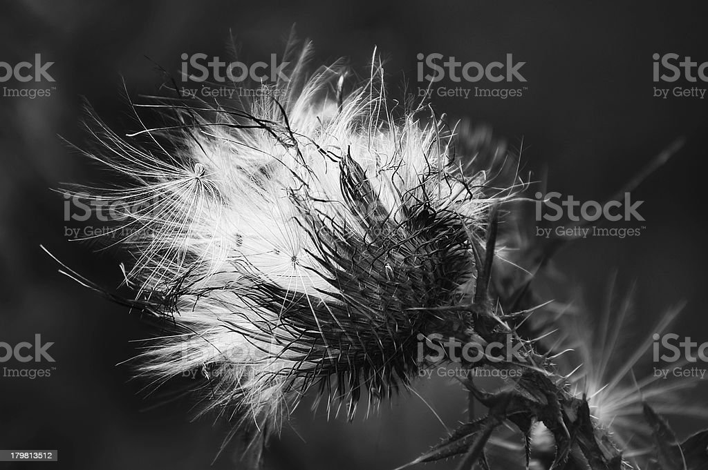 Close up of Fluffy thistle seed royalty-free stock photo