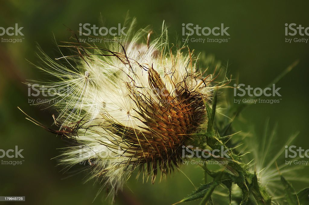Close up of Fluffy thistle seed stock photo