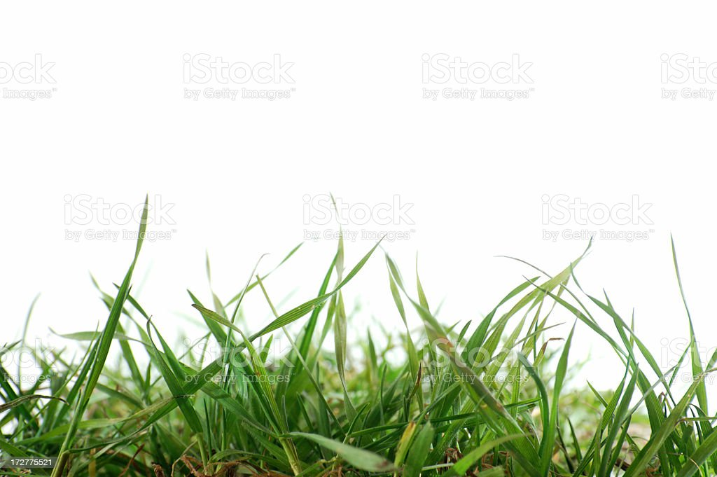 Close up of fresh grass on a white background stock photo