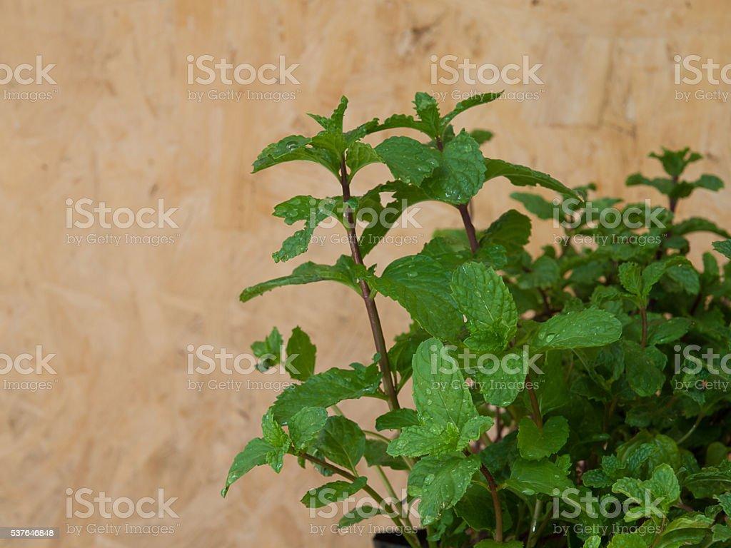 Close up of fresh mints leaves fresh mint stock photo