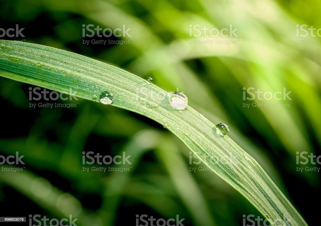 Close up of fresh morning dew on spring grass stock photo