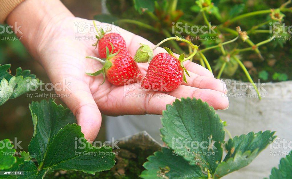 Nahaufnahme von frischen Bio-Erdbeeren Lizenzfreies stock-foto