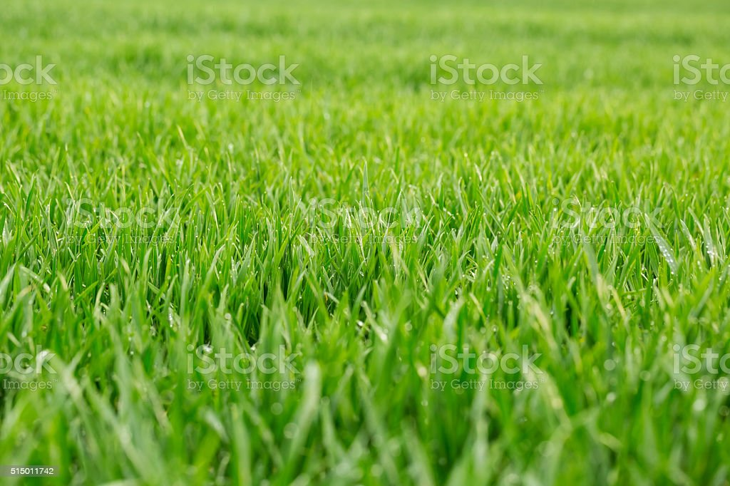 Close up of fresh thick grass with water drops stock photo