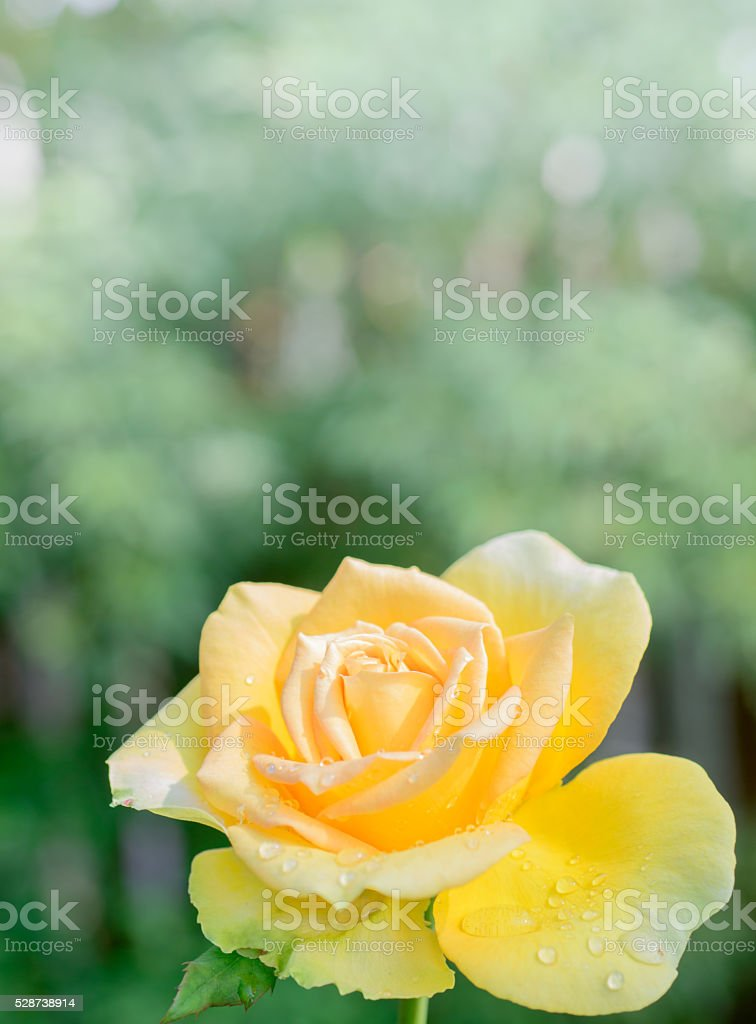 Close up of fresh yellow rose in garden stock photo