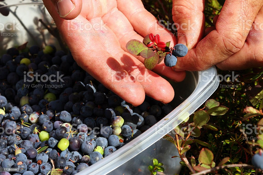 Close up of freshly picked blueberries stock photo