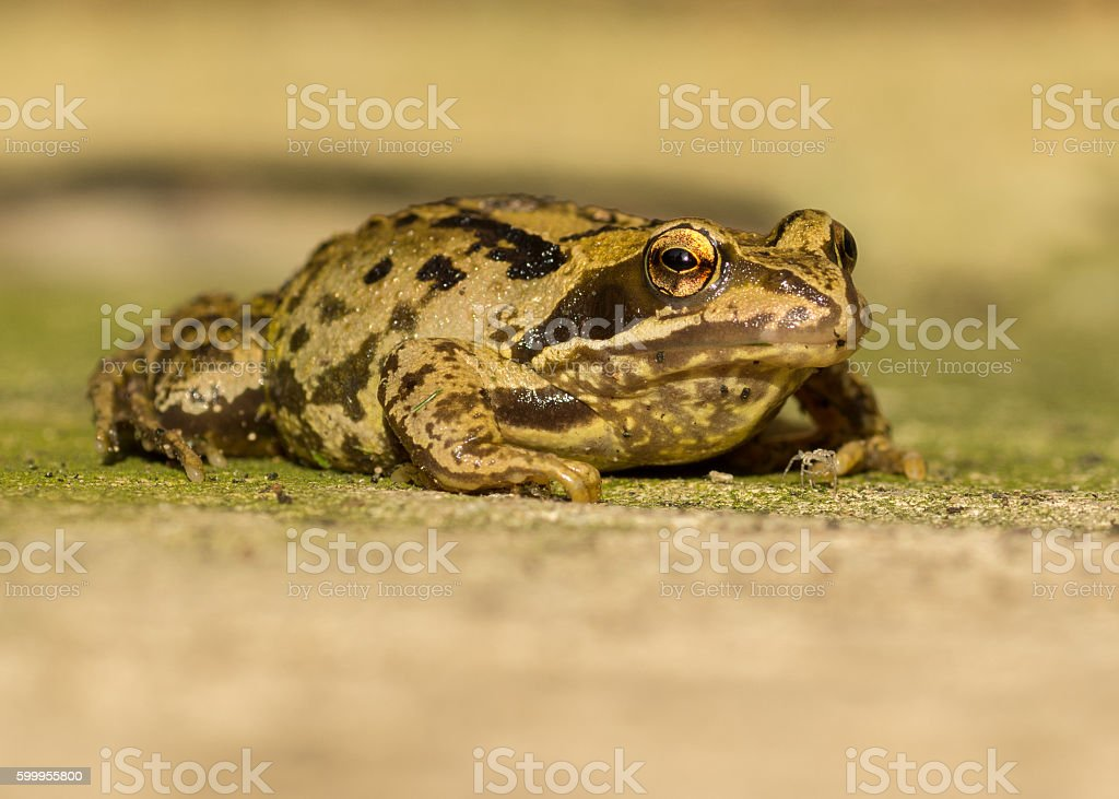Close Up of Frog royalty-free stock photo