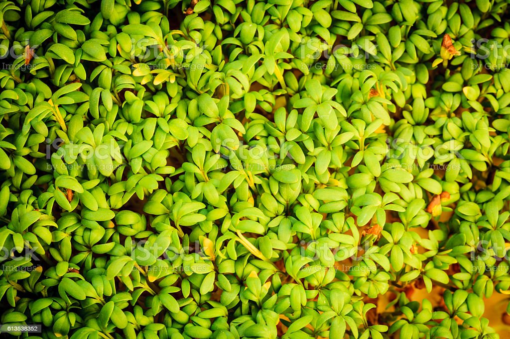 close up of garden cress as background stock photo