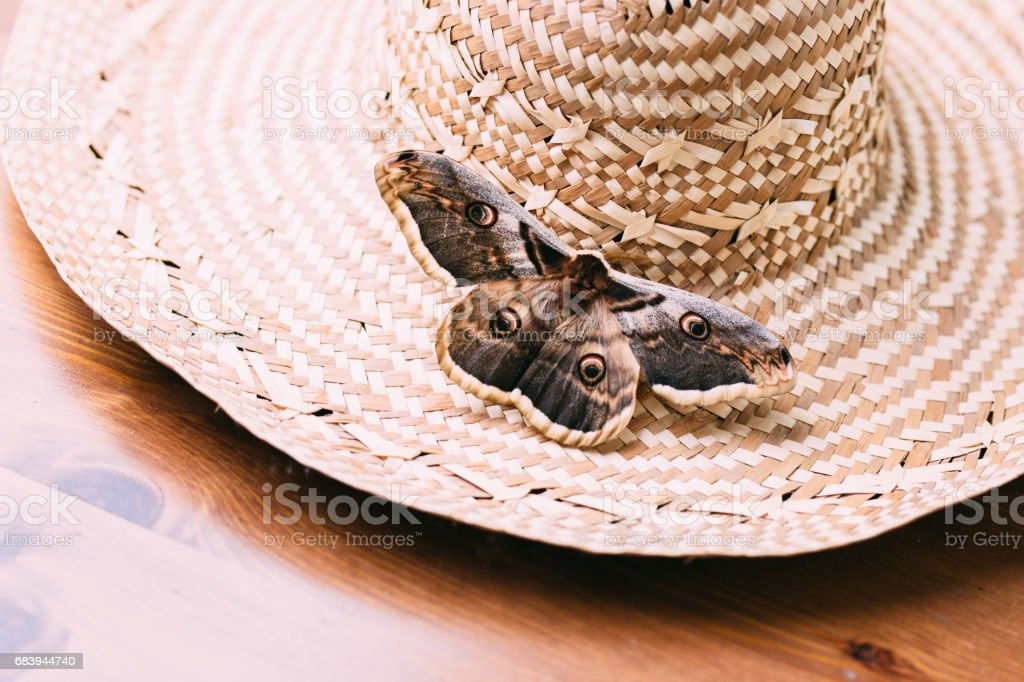 Close up of giant peacock moth Saturnia pyri sitting on straw hat. stock photo
