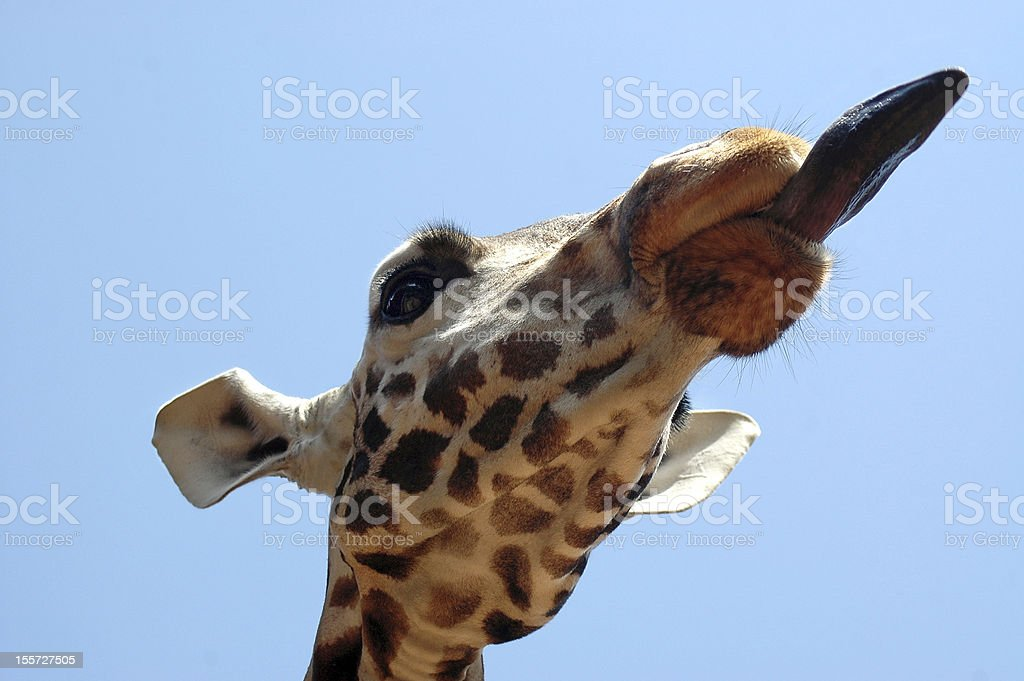 Close up of giraffe with its tongue out stock photo
