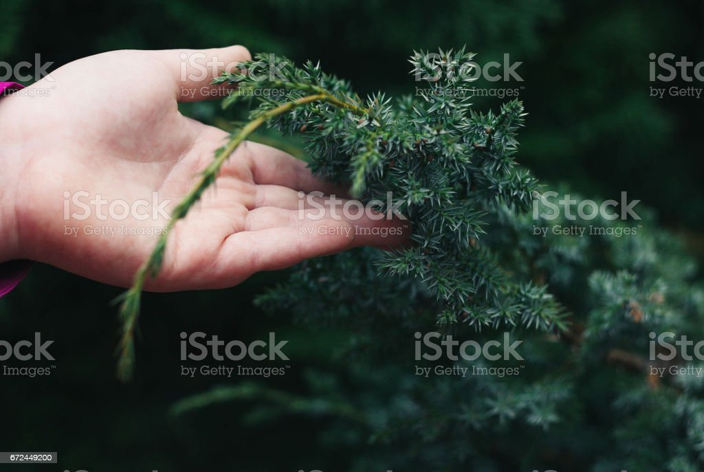 Close up of girl's fur-tree branches stock photo