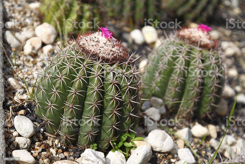 Zbliżenie świecie kształt Kaktus z długie thorns zbiór zdjęć royalty-free