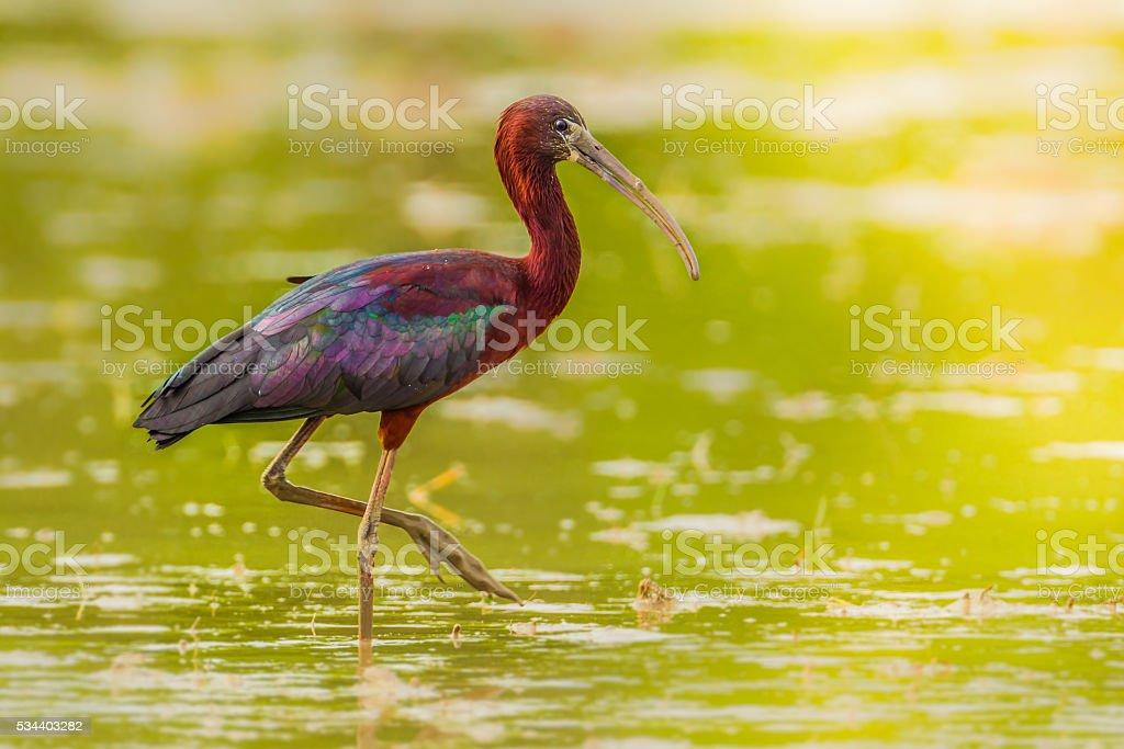 Close up of  Glossy Ibis stock photo