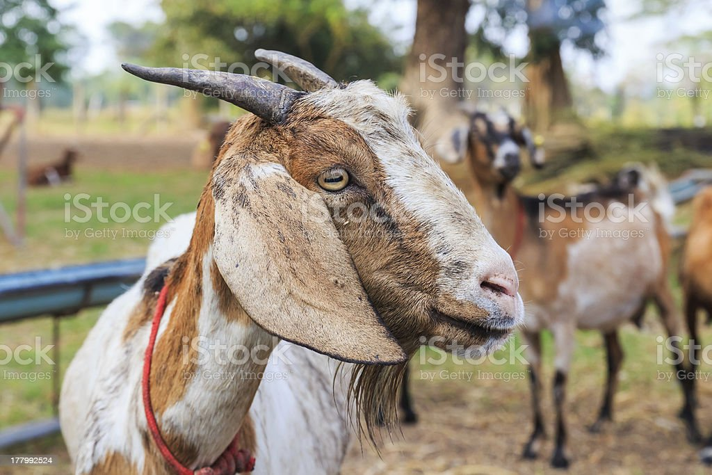 Close up of goat royalty-free stock photo
