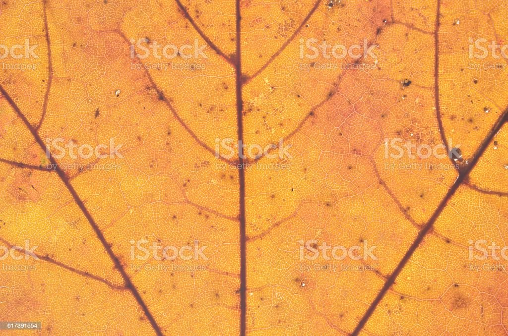Close up of golden autumn leave stock photo